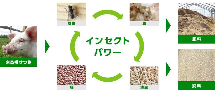 イエバエの幼虫を活用し、家畜排せつ物を