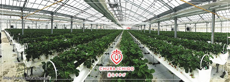 最南端沖縄の地で「冷房効果によるイチゴ栽培が現実化」